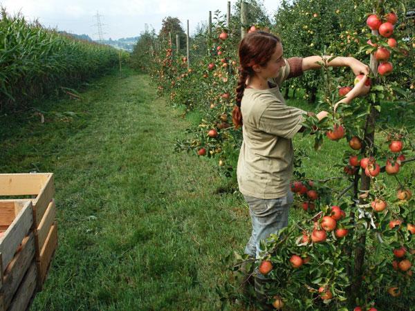 BIO Obst, Apfel, Birne, Kirschen, Zwetschgen